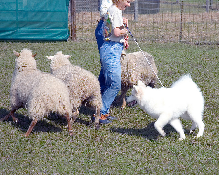 Jackson turns the sheep around the judge