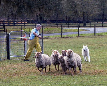 AKC CH / UKC Gr CH / International CH Omega-Winterway It's Showtime, HT, PT, STD1s, HTD1s (Diva) picks up the sheep from the round pen and goes to work.