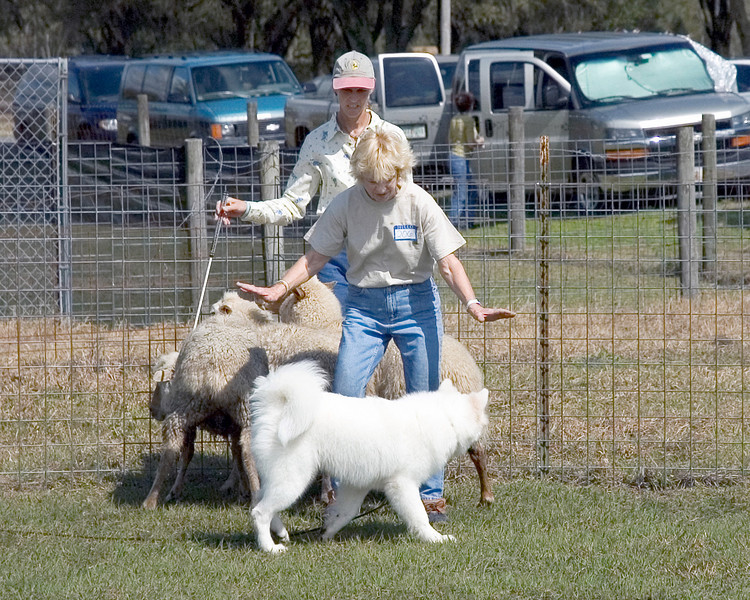 Janice stands between Jackson and the sheep, calling him off the sheep.  Jackson quailfied for his first leg, showing that he has instinct and sustained drive.