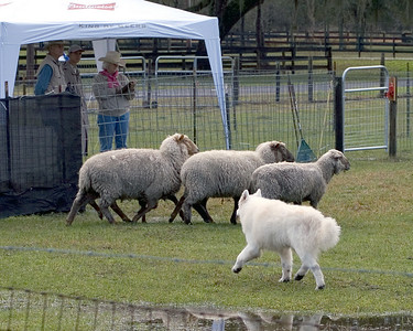 Diva begins to move the sheep through the course.  The rain had the pasture slopping wet but that didn't stop Diva.