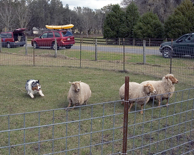 Stryker, Australian Shepherd (#3)shows the lightning-fast movement of his breed.