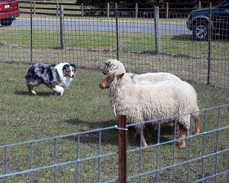"Stryker, Australian Shepherd (#3) gives the sheep a ""hard eye"" which can be used to move the sheep or hold them in position."
