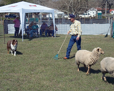 Lazy L's Luke, Australian Shepherd #4
