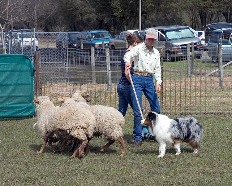 Stryker, Australian Shepherd (#3) learns to get around and turn the sheep as a group