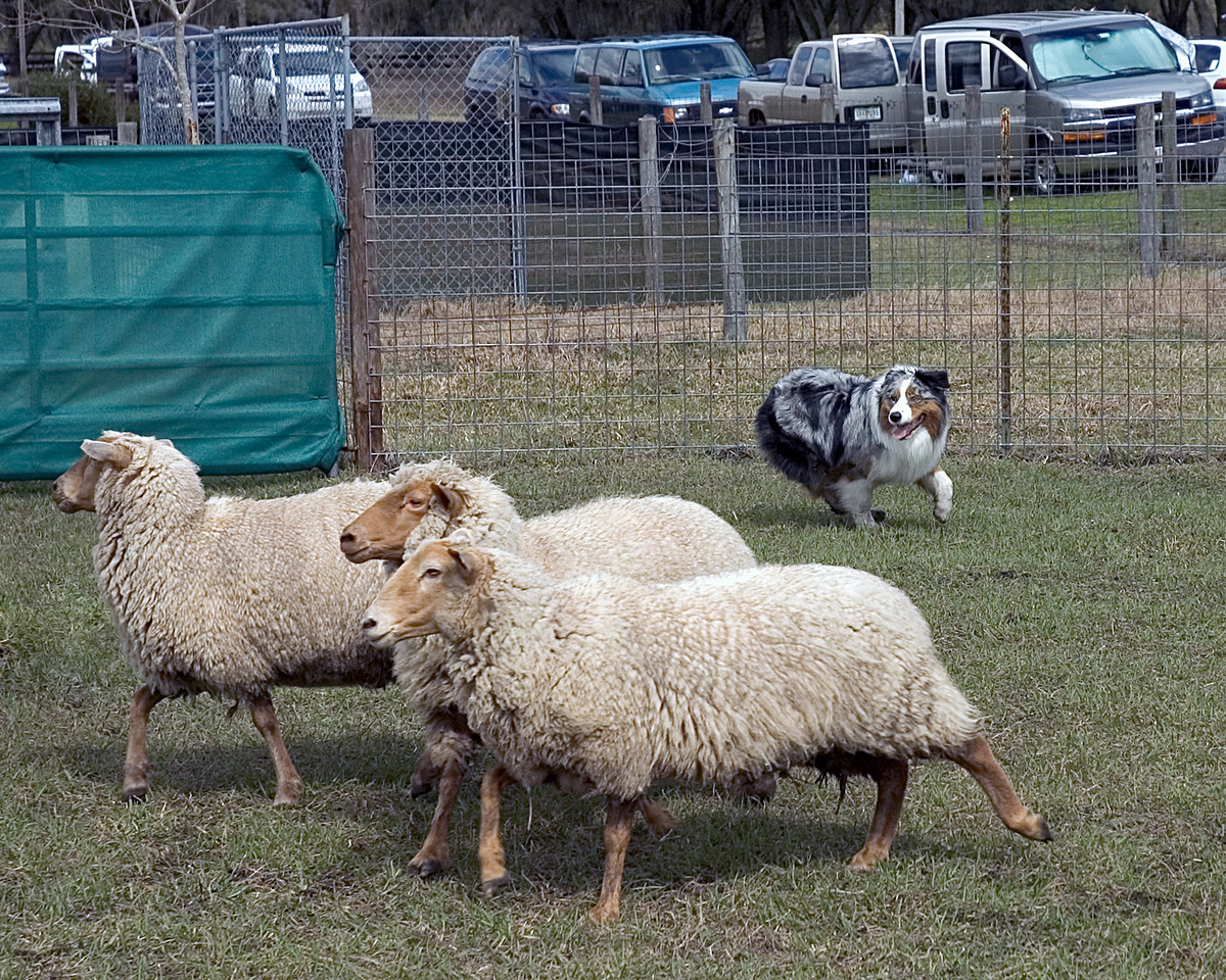 Stryker, Australian Shepherd (#3)