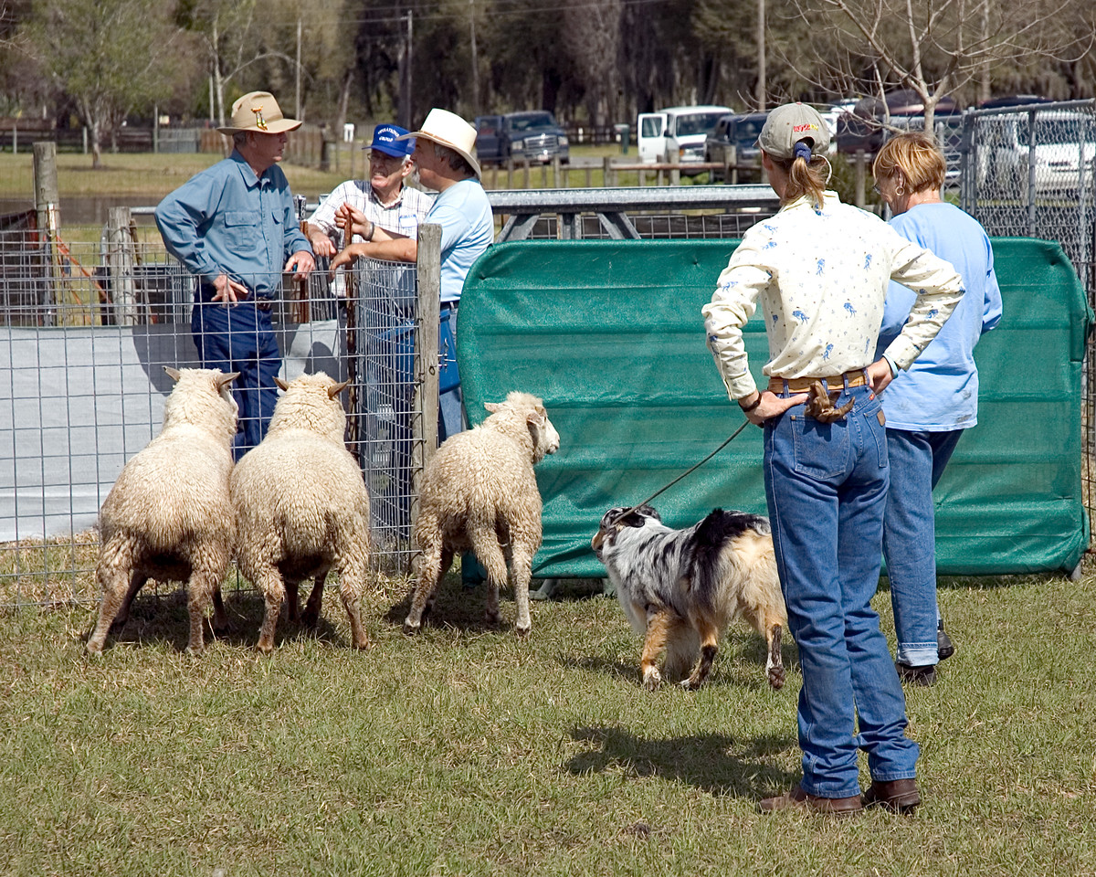 Australian Shepherd (#1) is being led on lead, moving the sheep.
