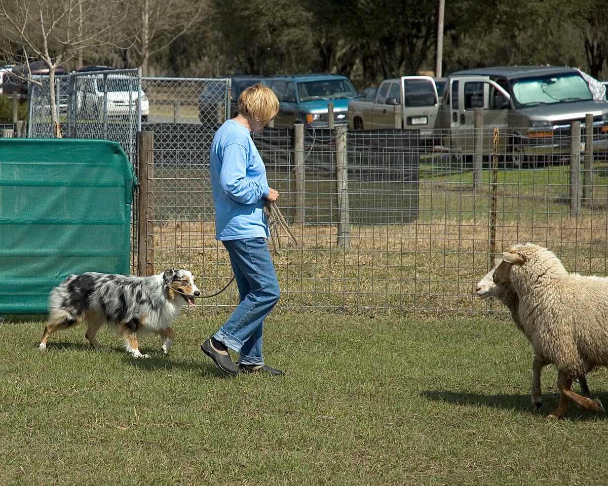 Australian Shepherd #1 is being introduced to the sheep.
