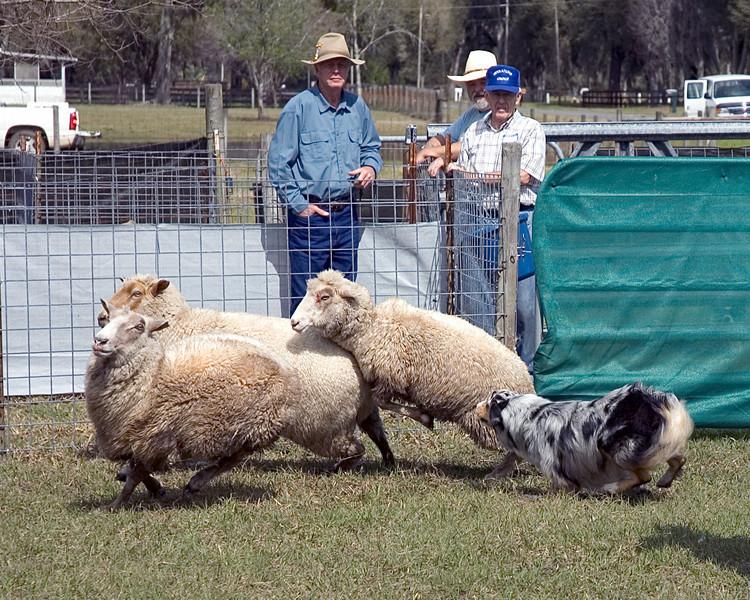 Australian Shepherd (#1)