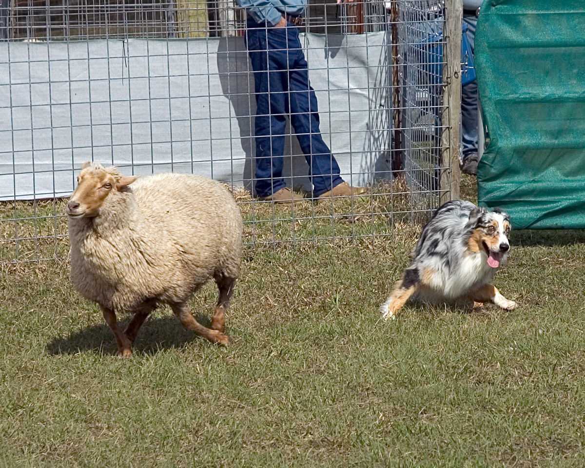 Australian Shepherd (#1) shows natural instinct in getting the sheep to move.