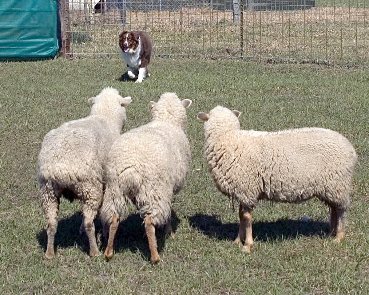 Lazy L's Luke, Australian Shepherd (#4)
