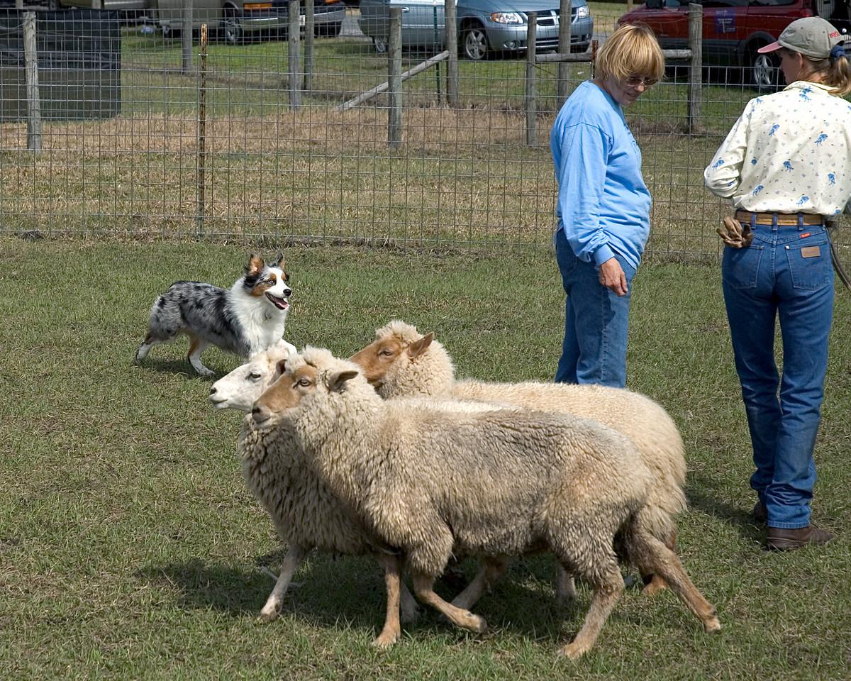 Austalian Shepherd (#2)