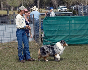 Stryker, Australian Shepherd (#3) The first part of the test is to walk the dog behind the sheep, to show that dog that he can move them without charging into them.