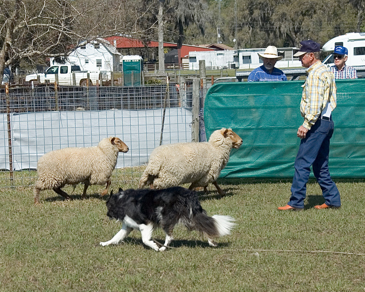 Cane moves the sheep at an easy pace, keeping them off the gate.