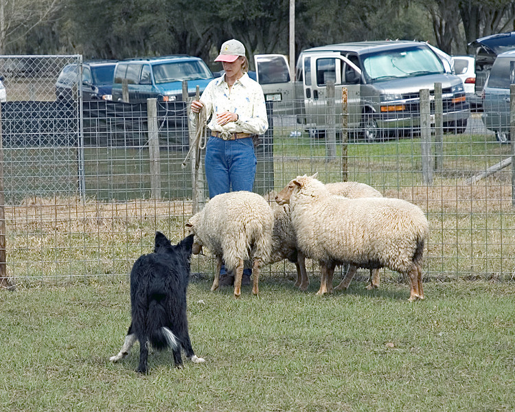 Border Collie - This was the first time that this dog had seen sheep, yet he showed the natural instinct for which the breed is famous.