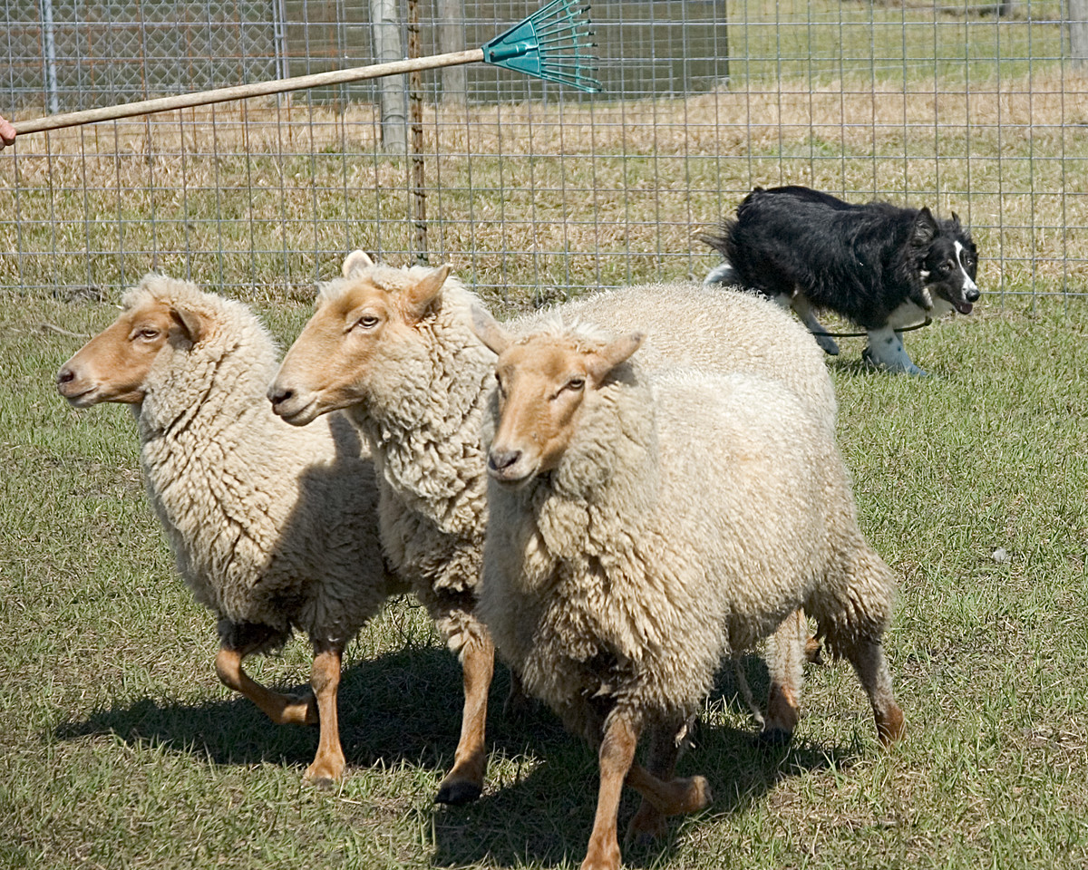 MM Colliepatch Hurricane, Cane, also keeps the sheep in a bunch, making them easier to herd.