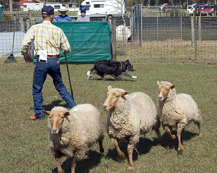 Cane moves the sheep from a distance, putting pressure on them.