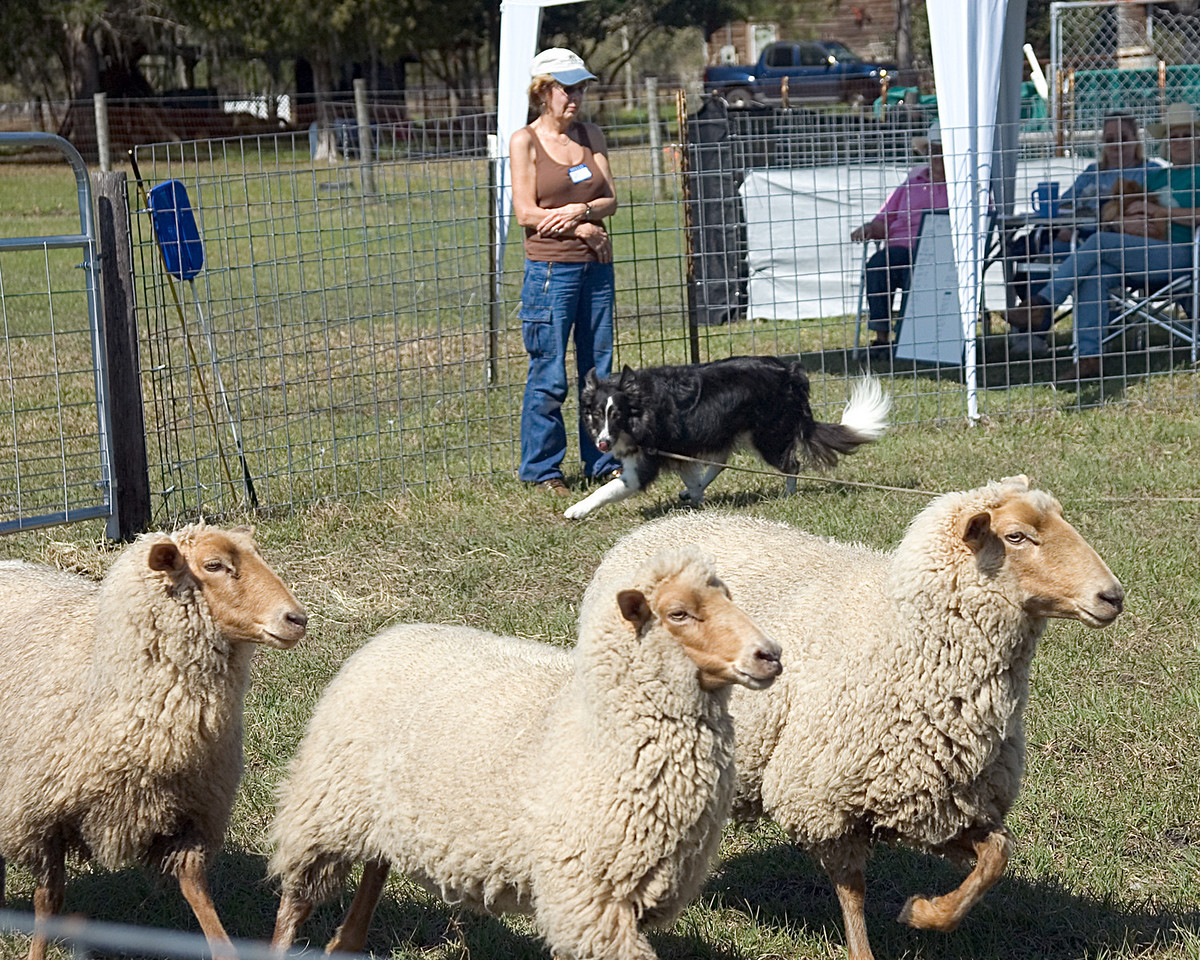 Mary Snook watches her black Border Collie, MM Colliepatch Hurricane, qualify for his first leg in the AHBA Herding Capability Test.