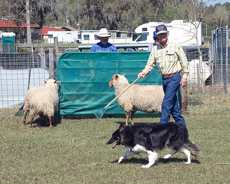 Cane finishes by holding the sheep at the take-out gate.