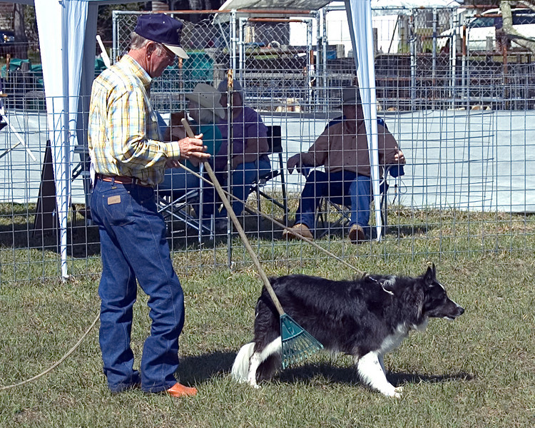 MM Colliepatch Hurricane, a Border Collie, is introduced to the sheep.  Cane shows the intensity for herding for which Border Collies are well-known.