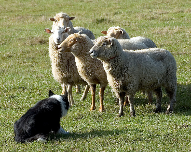 Joe holds the flock in position