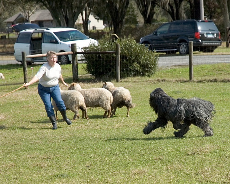 Michelle sends Harry to her right to move the sheep to her left.