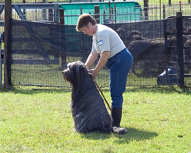 Harry, a Briard, waits patiently to begin sheep herding.  He is working on his second leg in HCT.