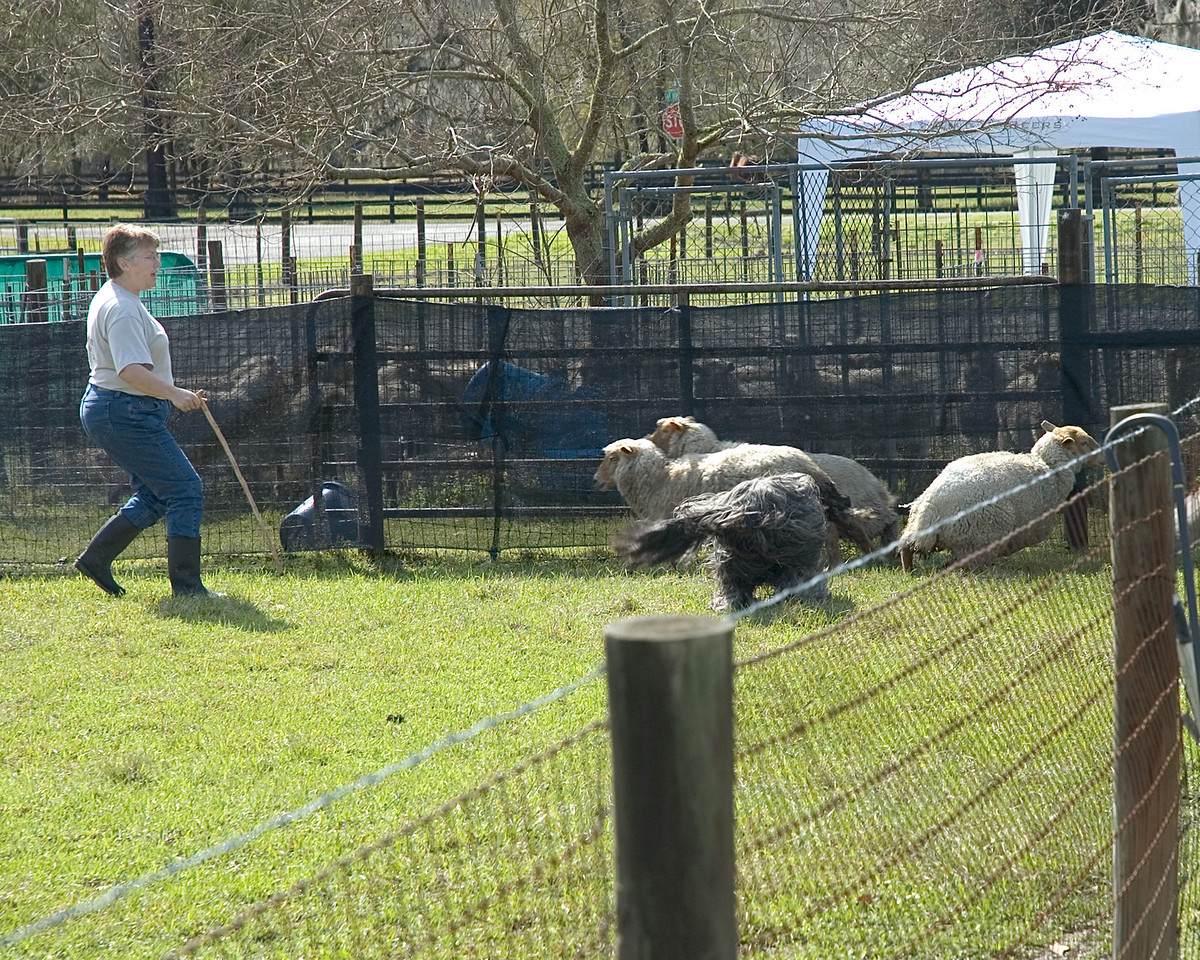 Harry begins to move the sheep out of the corner and to the next turn.