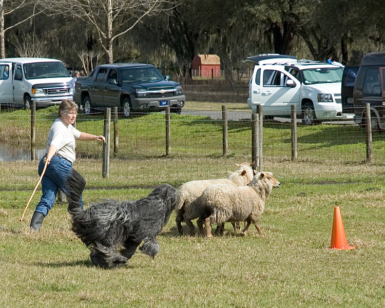 Harry drives the sheep past the second cone.