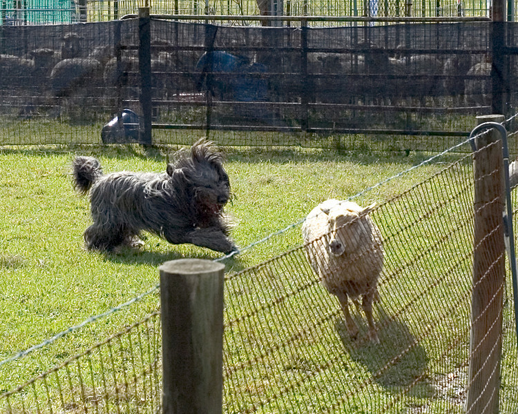 Harry drives one wayward sheep towards the others.