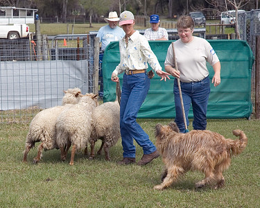 Bree circles the sheep around Michelle and the judge, Stacey.