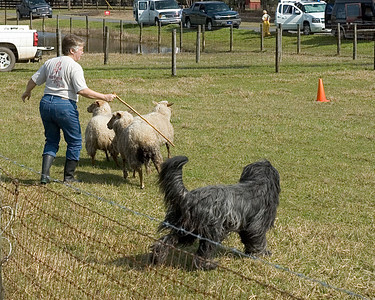 Harry and Michelle move the three sheep towards the next cone.