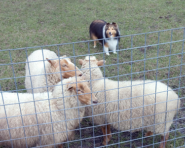 Austin (Silver Trails Laptop), a Shetland Sheepdog, now holds the sheep at a distance, with the sheep relaxing.