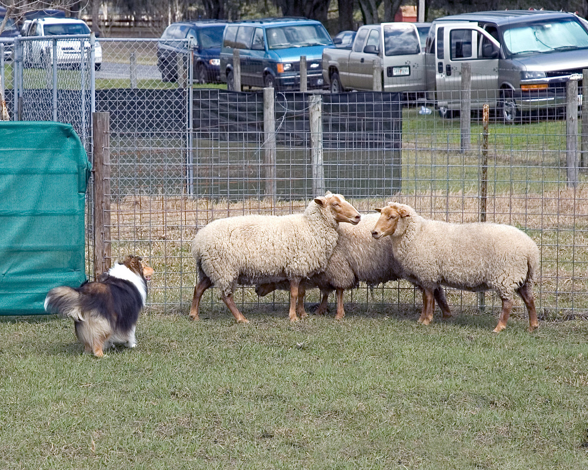 Austin (Silver Trails Laptop), a Shetland Sheepdog, holds the sheep near the exhaust gate.