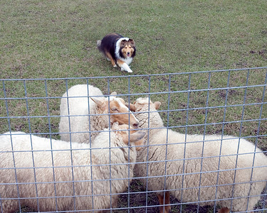 Austin (Silver Trails Laptop), a Shetland Sheepdog, pins the sheep against the fence to hold them.