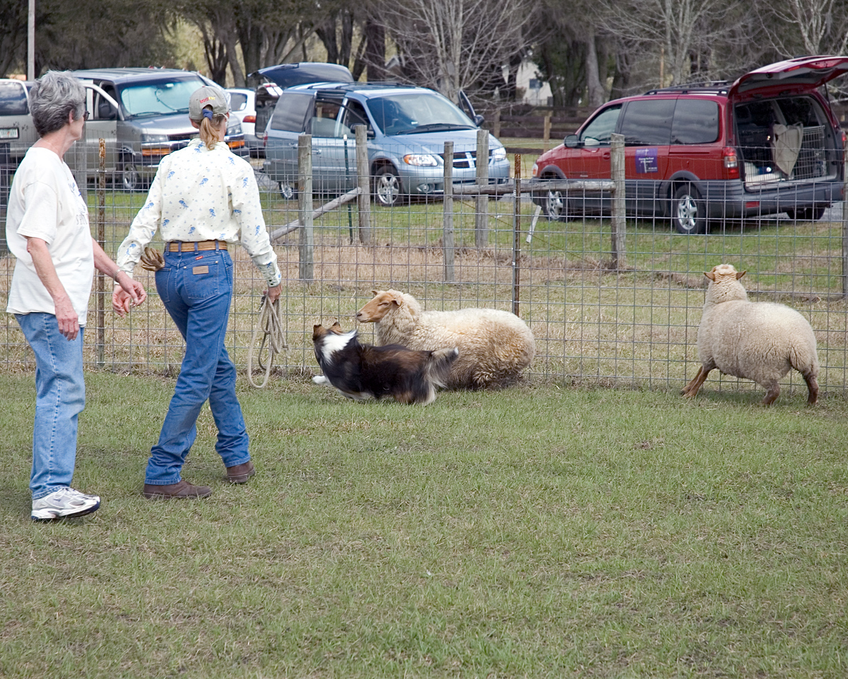 Austin (Silver Trails Laptop), a Shetland Sheepdog,cuts the one sheep off, moving it back towards the others.