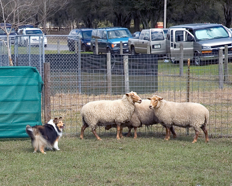 This Sheltie holds the sheep near the take-out point and looks to the handler for further directions.