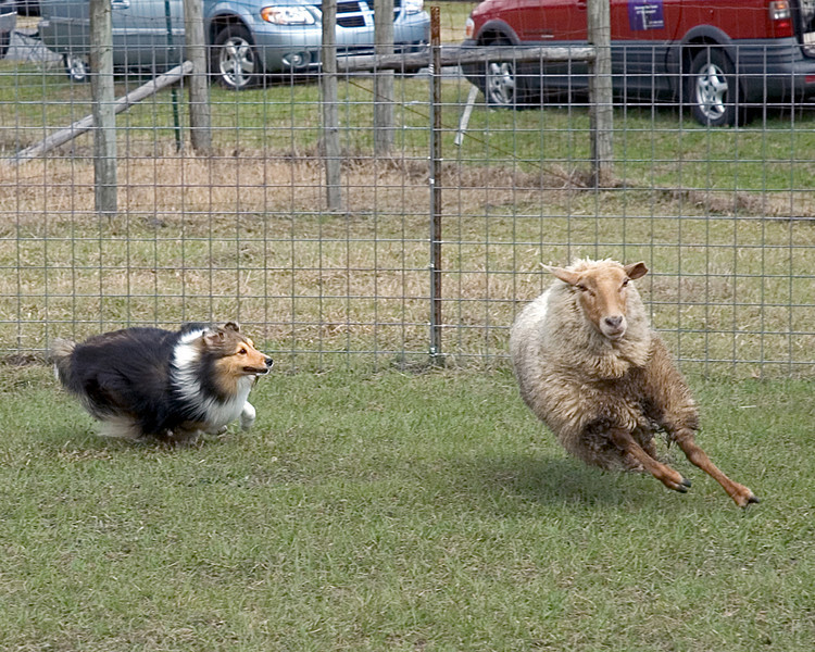 Austin (Silver Trails Laptop), a Shetland Sheepdog, focuses on one of the sheep to move it back towards the others.