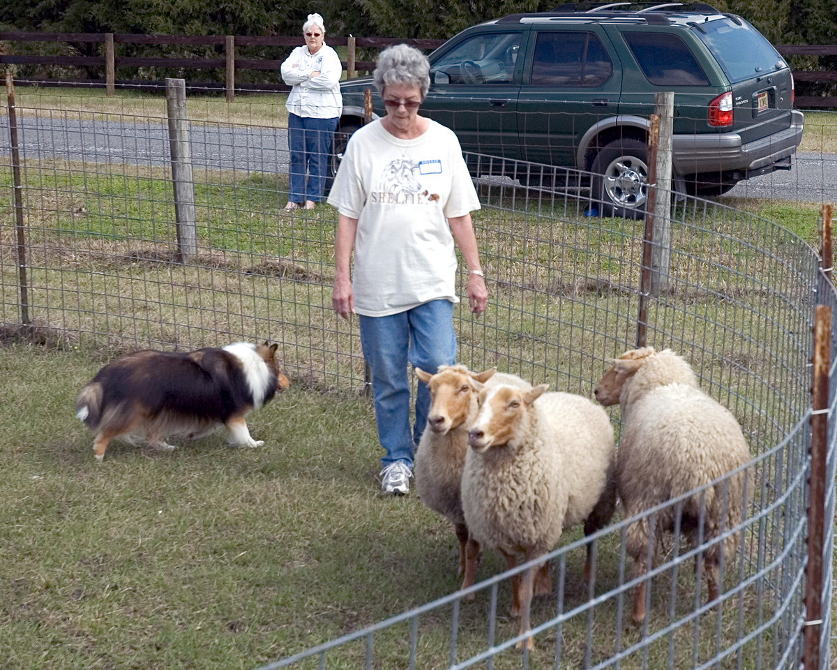Austin (Silver Trails Laptop), a Shetland Sheepdog, works with his owner, Nancy Frazier, to move the sheep in a controlled manner around the pen.