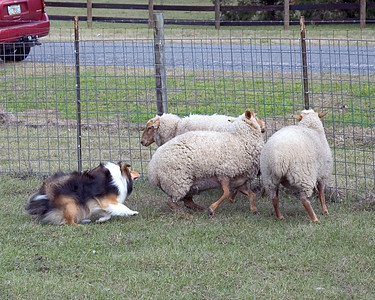 Austin (Silver Trails Laptop), a Shetland Sheepdog, goes to the head of the one sheep to turn him back in the direction of the others.