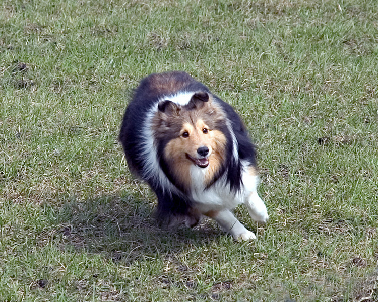 Austin (Silver Trails Laptop), a Shetland Sheepdog