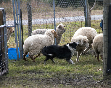 Joe uses a little ear tug to get a reluctant sheep out of the pen.