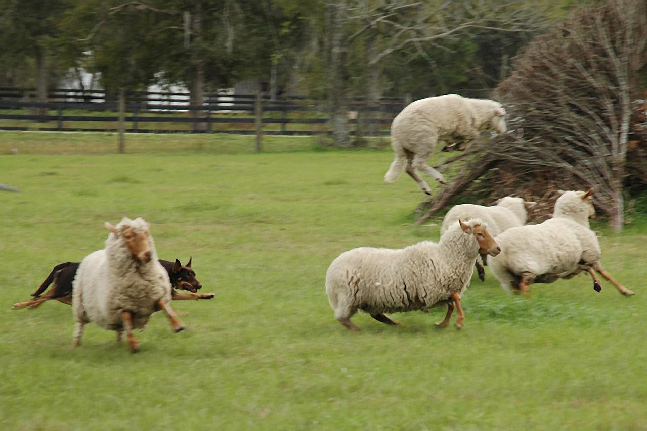 3D herding - Not for your average dog