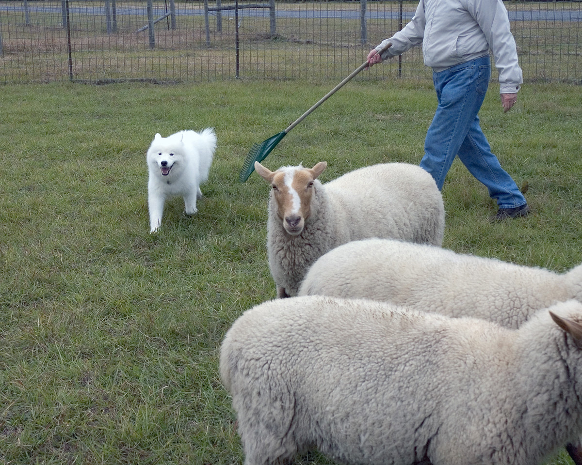 Joy learns to move the sheep ina group