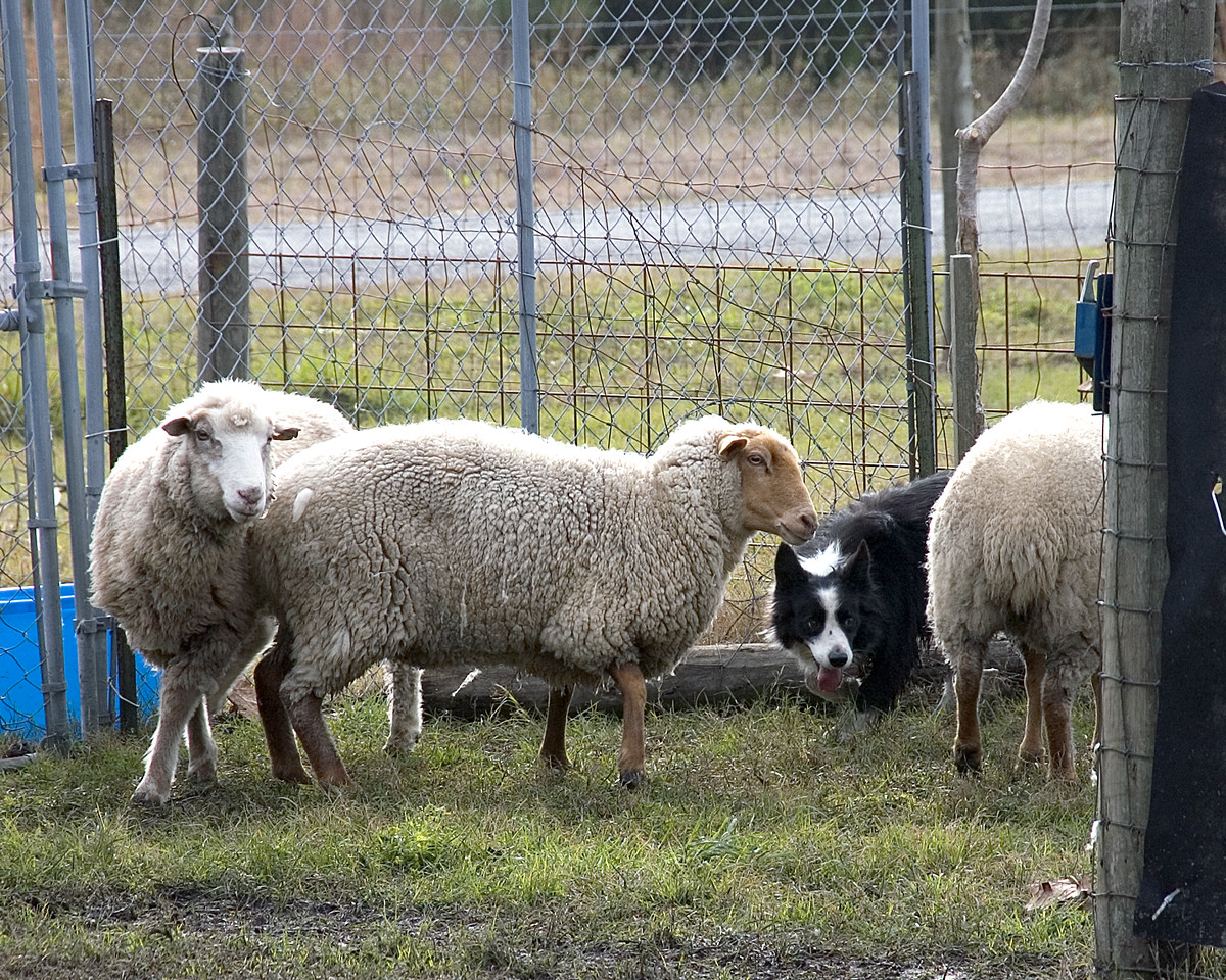 Joe working the sheep out of the pen and into the arena.