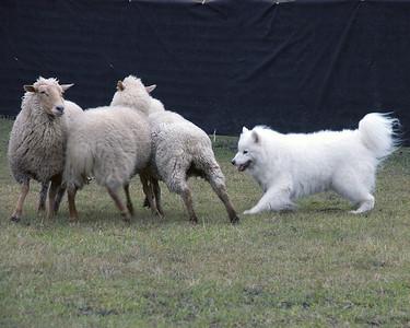 Skye enjoys playing with the sheep.