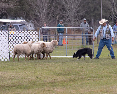 Joe and Louis Thompson show how to pen the sheep during competition.
