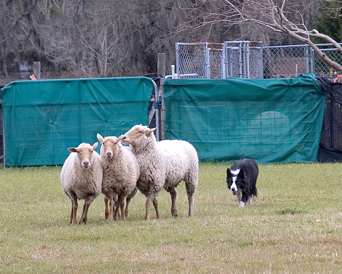 Joe drives the sheep towards the final penning.