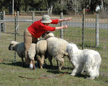 Lesson 1 for sheep herding - Always maintain your balance
