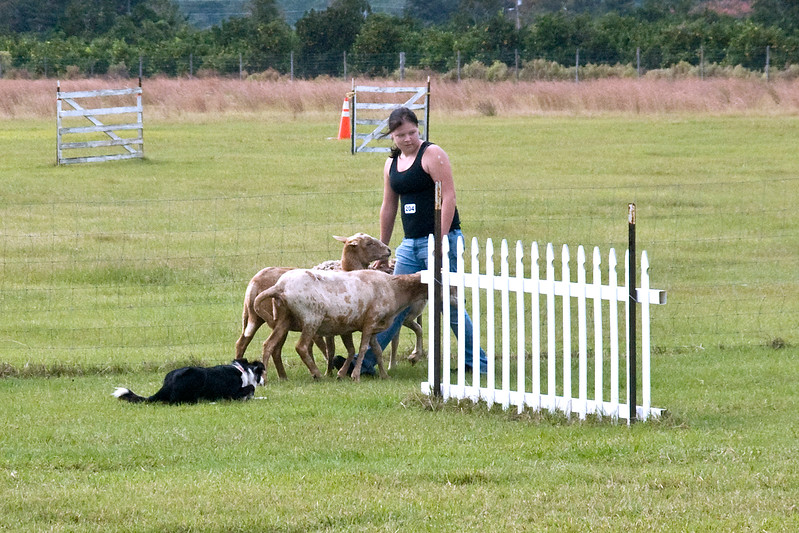 #204 (Saturday) - Linden Cass, a Border Collie, earned her first qualifying leg in PT, with Natalie handling her.  Cass is owned by Sherry Lee.