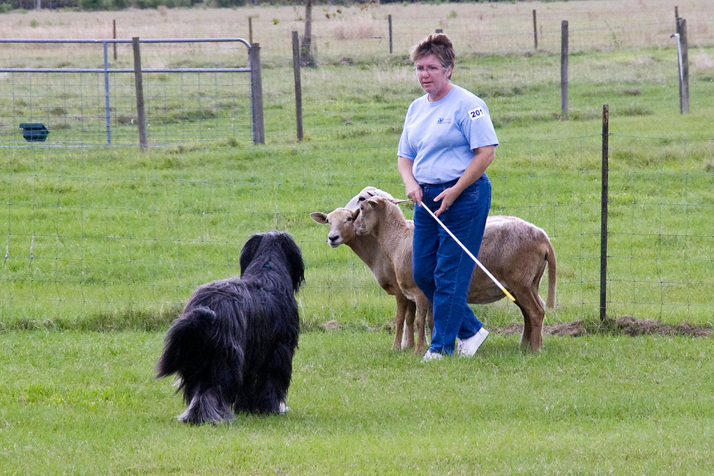 #201 (Saturday) - Chaotic's Vision In Grey HT, a Briard, qualified in the Pre-Trial Class and earned his PT title.  Harry is owned by Jim & Michelle Holmes.